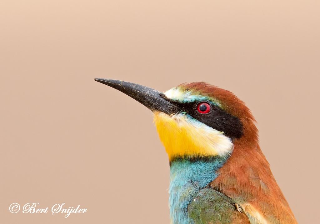 European Bee-eater Birding Portugal