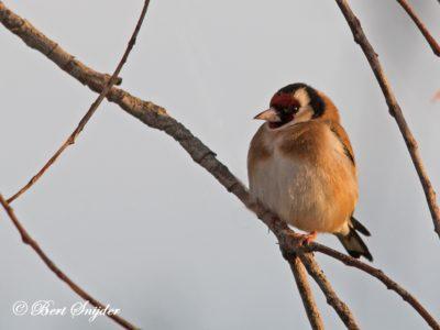 European Goldfinch Bird Hide BSP4 Portugal