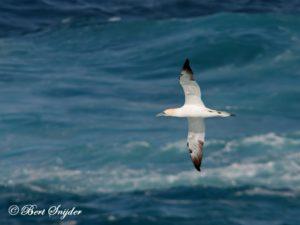 Gannet Birding Portugal