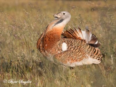 Great Bustard Birding Portugal