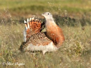 Great Bustard Birding Portugal