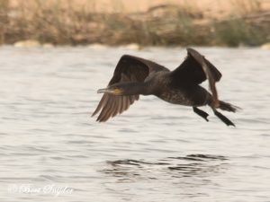 Great Cormorant Bird Hide BSP3