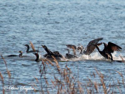 Great Cormorant Bird Hide BSP2