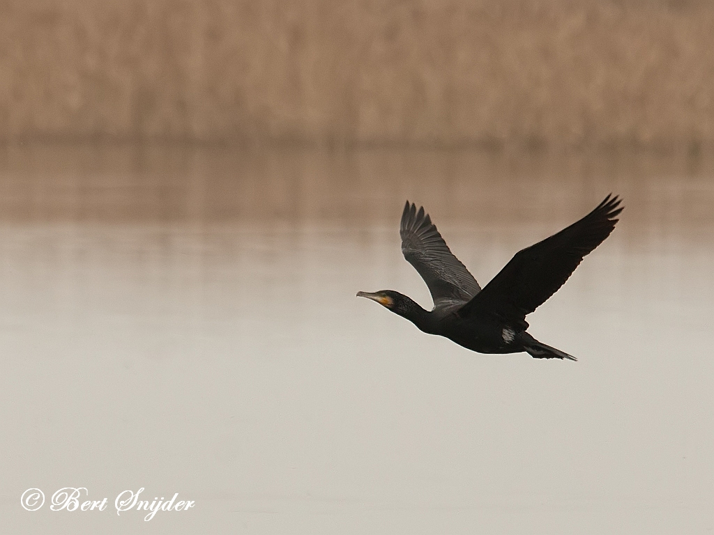 Great Cormorant Bird Hide BSP2