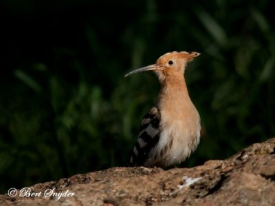 Hoopoe Bird Hide BSP4 Portugal