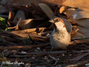 House Sparrow Bird Hide BSP4 Portugal