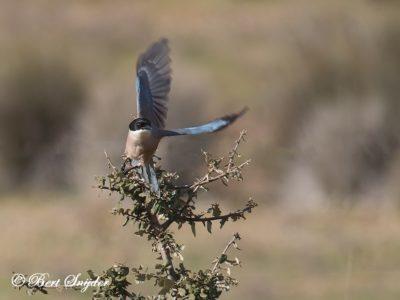 Iberian Magpie Bird Hide BSP4 Portugal
