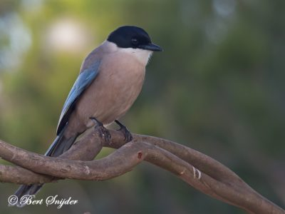 Iberian Magpie Bird Hide BSP4 Portugal