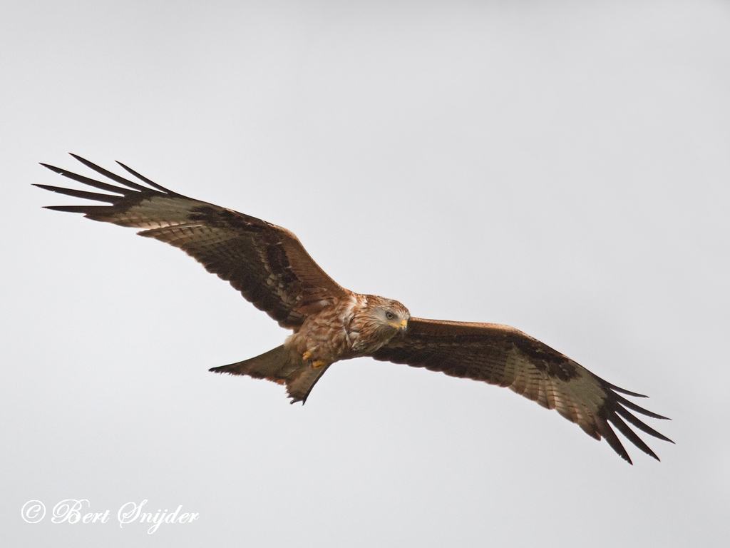Red Kite Bird Hide BSP4 Portugal