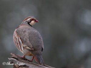 Red-legged Partridge Bird Hide BSP4 Portugal