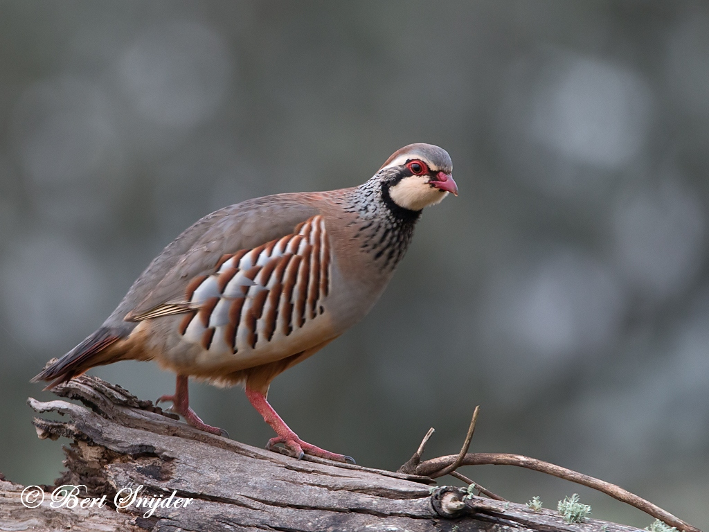 Red-legged Partridge Bird Hide BSP4 Portugal