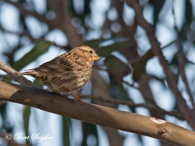 Rock Sparrow Bird Hide BSP4 Portugal
