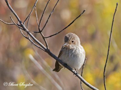 Spotted Flycatcher Bird Hide BSP1 Portugal