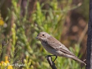 Spotted Flycatcher Bird Hide BSP1 Portugal