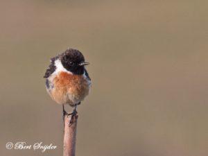 Stonechat Bird Hide BSP4 Portugal