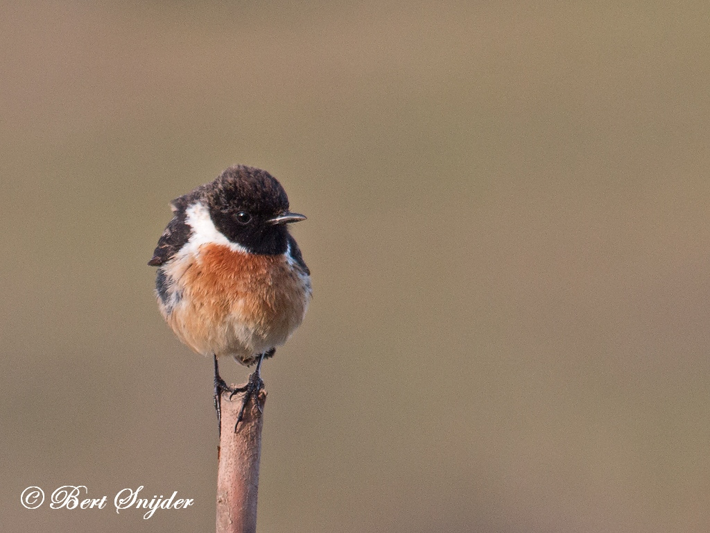 Stonechat Bird Hide BSP4 Portugal