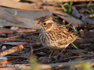 Woodlark Bird Hide BSP4 Portugal