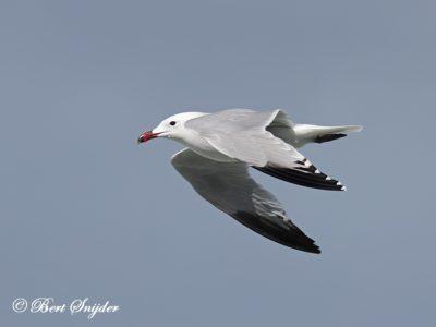 Audouin´s Gull Birding Portugal