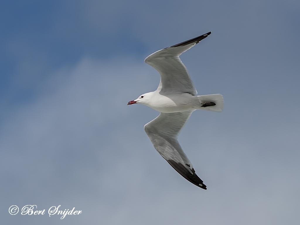 Andouin´s Gull Birding Portugal