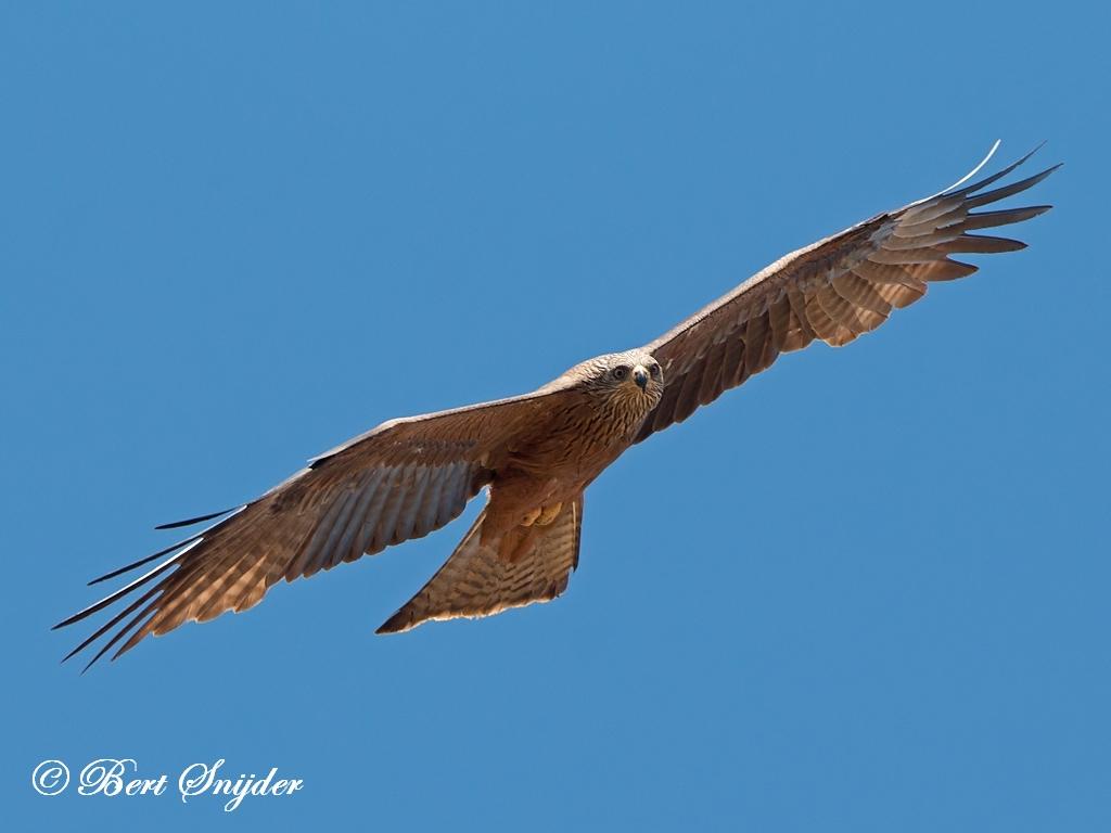 Black Kite Birding Portugal