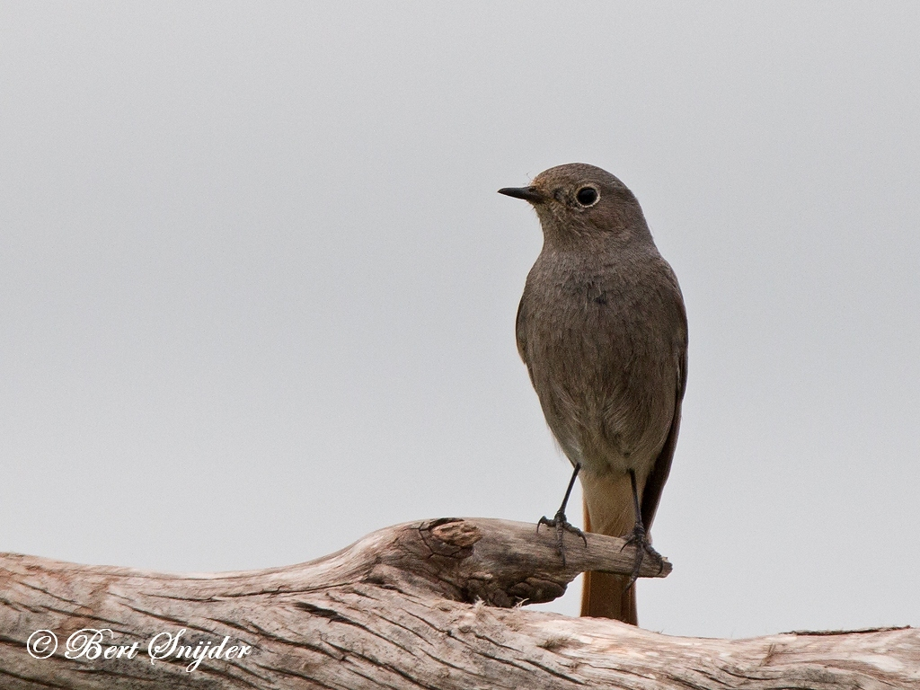 Black Redstart Bird Hide BSP6 Portugal