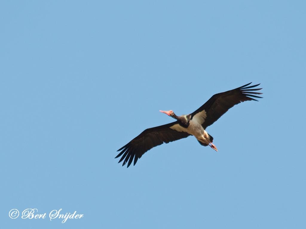 Black Stork Birding Portugal