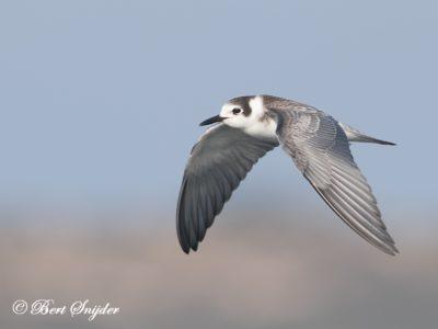 Black Tern Birding Portugal