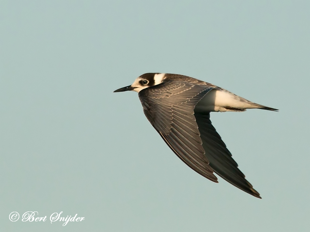 Black Tern Birding Portugal