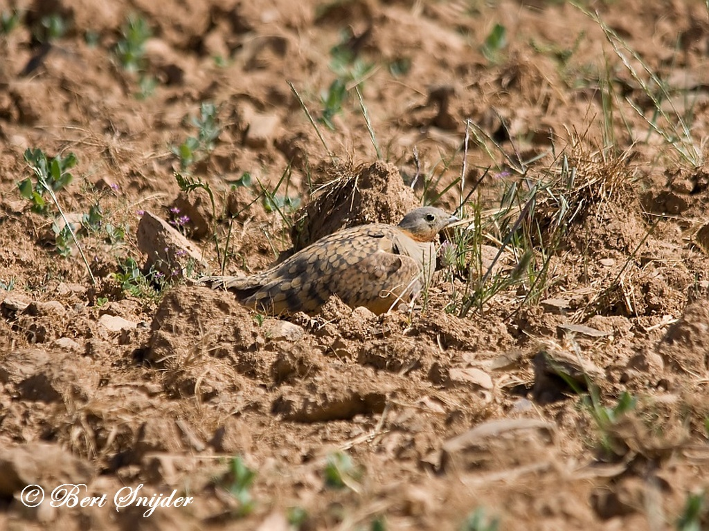 Black-bellied Sandgrouse Birdwatching Portugal
