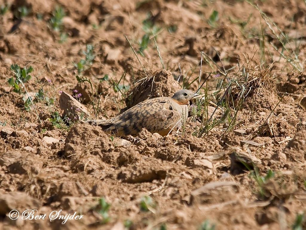 Black-bellied Sandgrouse Birdwatching Portugal