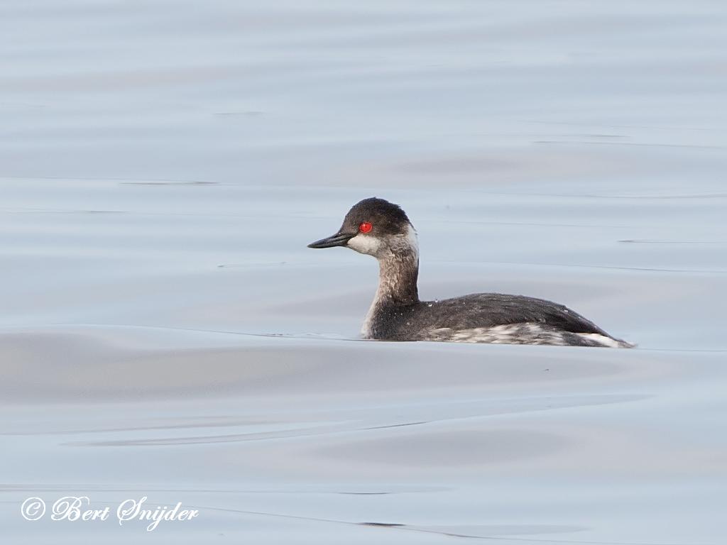 Black-necked Grebe Birding Portugal