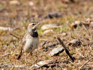 Bluethroat Birding Portugal