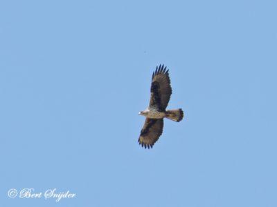 Bonelli´s Eagle Birding Portugal