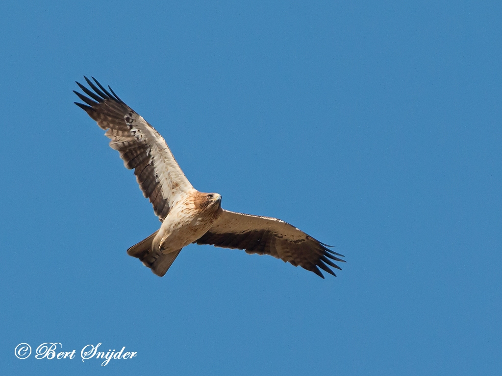 Booted Eagle Birding Portugal