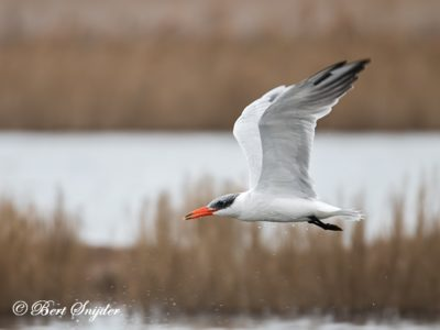 Caspian Tern Bird Hide BSP2 Portugal