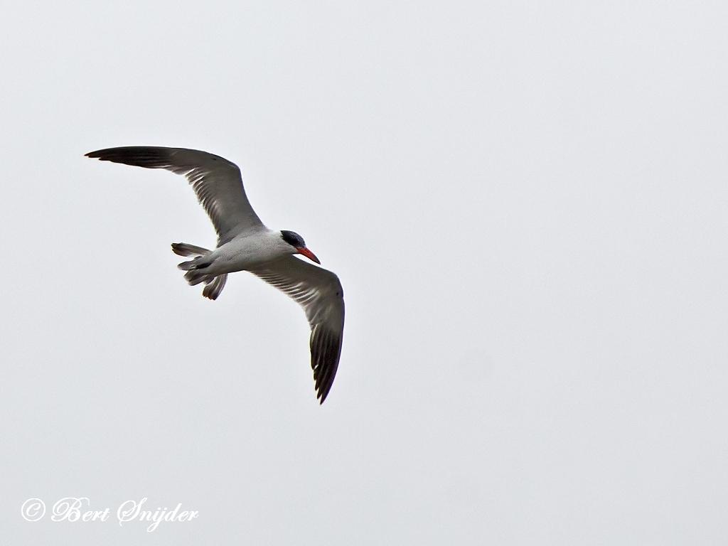 Caspian Tern Bird Hide BSP2 Portugal