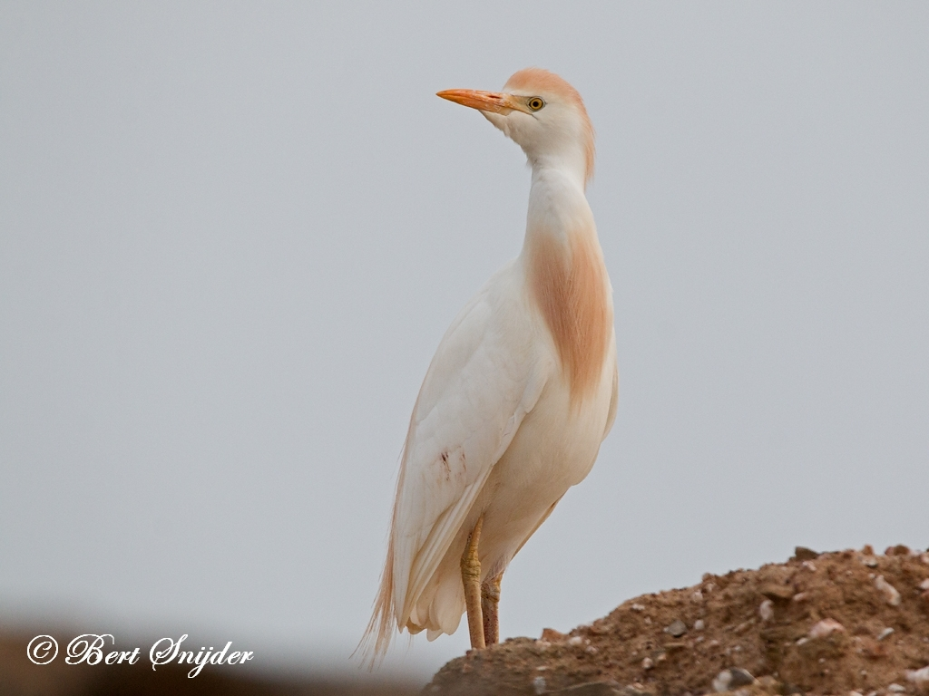 Cattle Egret Bird Hide BSP6 Portugal