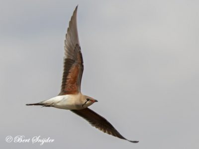 Collared Pratincole Birding Portugal