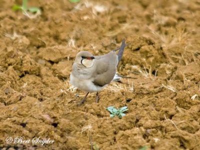 Collared Pratincole Birding Portugal