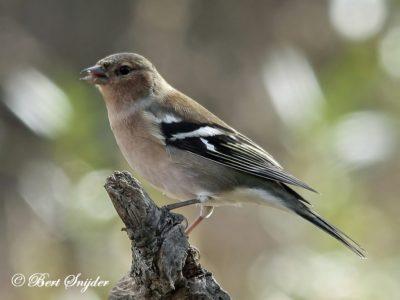 Chaffinch Birding Portugal