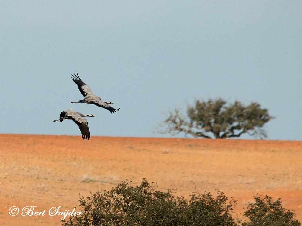 Common Crane Birding Portugal