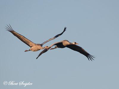Common Crane Bird Hide BSP7 Portugal