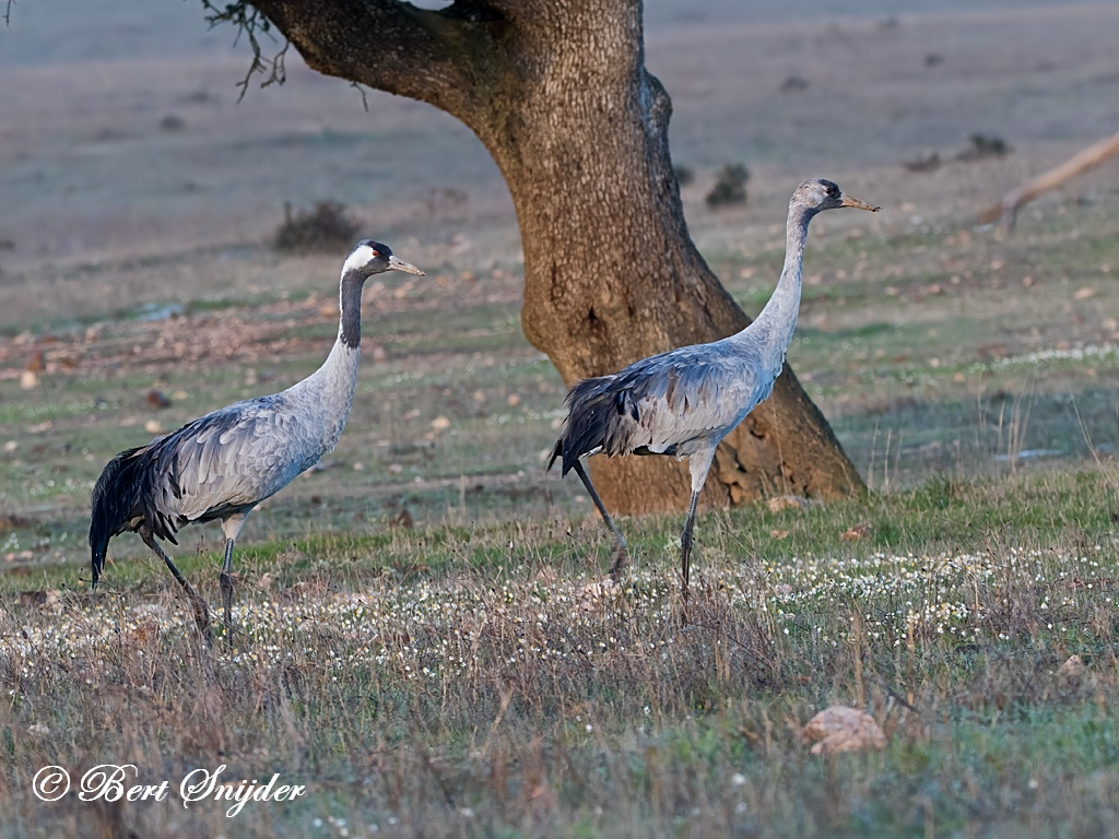 Common Crane Bird Hide BSP7 Portugal
