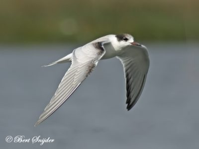 Common Tern Birding Portugal