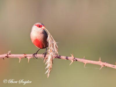 Common Waxbill Birding Portug