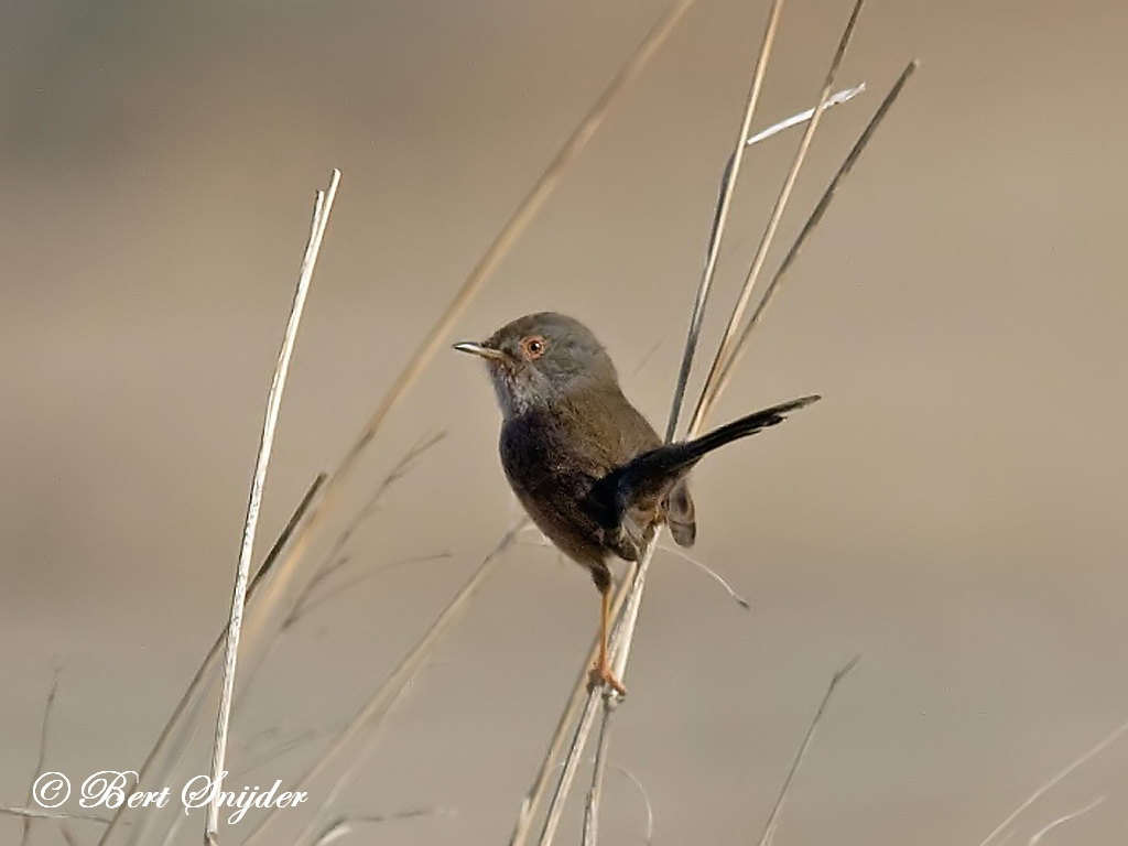 Dartford Warbler Birding Portugal