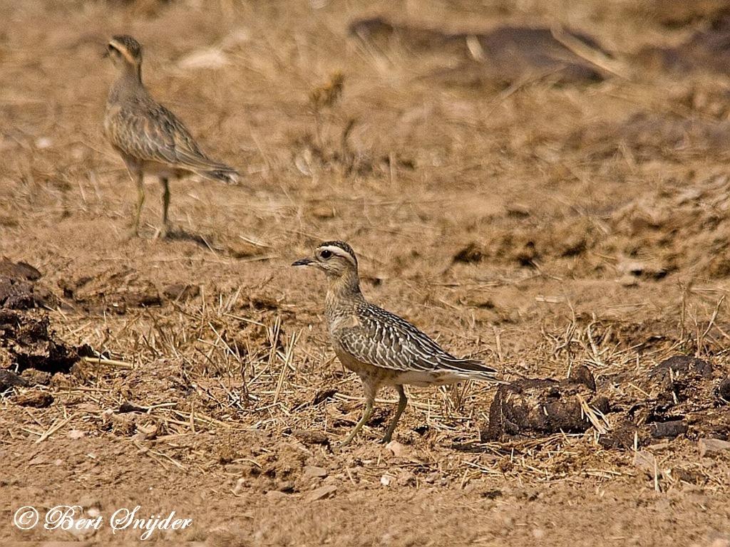 Dotterel Birding Portugal