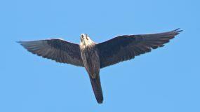 Eleonora´s Falcon Birding Portugal