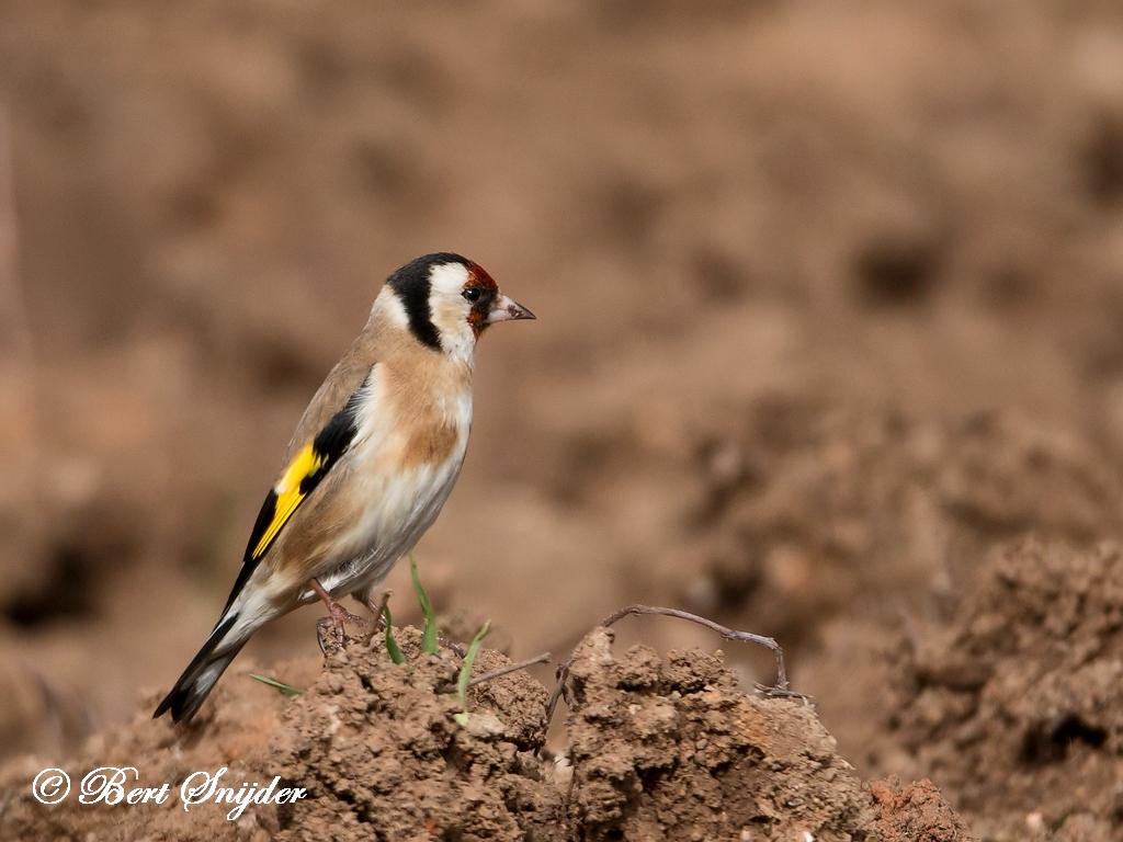 European Goldfinch Bird Hide BSP5 Portugal