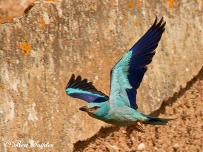 European Roller Bird Hide BSP6 Portugal